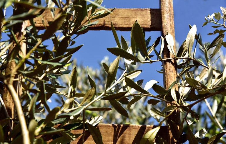 raccolta olivastra seggiano il colombaio fulvio landi